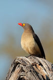 Red-billed oxpecker. (Buphagus erythrorhynchus) perched on a branch, South Africa stock photo