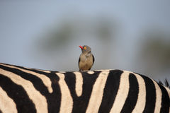 Red-billed oxpecker, Buphagus erythrorhynchus Royalty Free Stock Photography