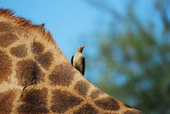 Red-Billed Oxpecker on Giraffe Stock Photos