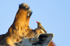 Red billed Oxpecker on a Giraffe's head Royalty Free Stock Images