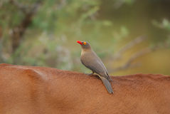 Red-Billed Oxpecker on Impalas back Stock Image
