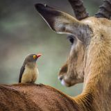 Red-billed Oxpecker in Kruger National park, South Africa stock image