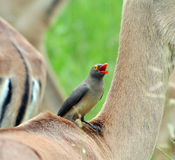 Red-billed Oxpecker perching on Impala Antelope Stock Photo