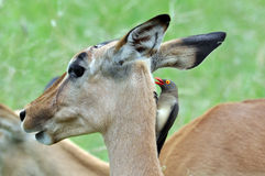 Red-billed Oxpecker perching on Impala Antelope Royalty Free Stock Photography
