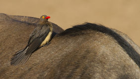 Red-billed Oxpecker Royalty Free Stock Photos