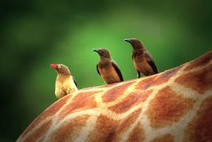 Red Billed Oxpeckers royalty free stock photo