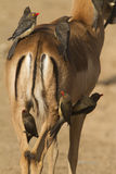 Red-billed Oxpeckers Royalty Free Stock Image