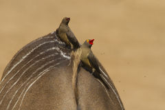 Red-billed Oxpeckers. On the back of a nyala stock photos