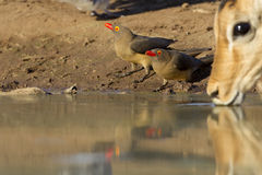 Red Billed Oxpeckers drinking, Botswana. Two Red billed oxpeckers (Buphagus erythrorhynchus) drinking water, Botswana Royalty Free Stock Image