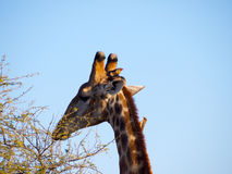 Red-billed oxpeckers on a Giraffe's head Royalty Free Stock Photos
