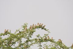 Red billed Quelea Stock Photo
