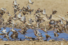 Red-billed Quelea Royalty Free Stock Photography