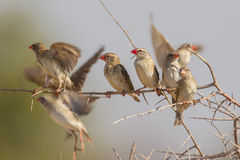 Red-billed quelea royalty free stock image