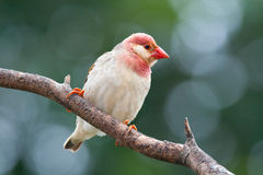 Red-billed Quelea. Adult female Royalty Free Stock Photo