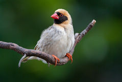 Red-billed quelea. Adult male red-billed quelea stock photography