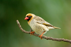 Red billed quelea Royalty Free Stock Photo