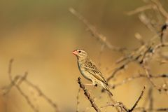 Red Billed Quelea - African Wild Bird Background - Color Tones of Nature Royalty Free Stock Photo