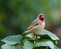 Red-billed Quelea male. Red-billed Que-lea adult male royalty free stock photos