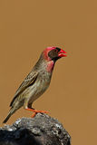 Red-Billed Quelea perched on rock Stock Photography