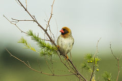 Red billed Quelea sitting on a branch stock images