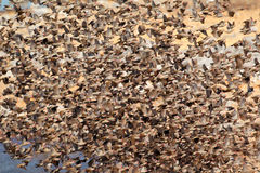 Red-billed Queleas stock photo