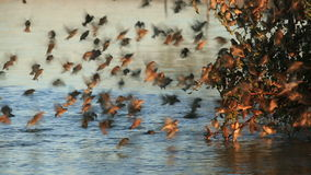 Red-billed Queleas stock video footage