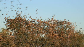 Red-billed Queleas stock video