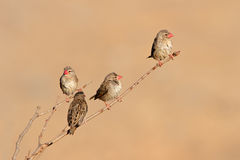 Red-billed Queleas Stock Image