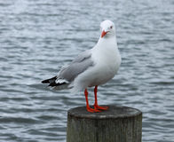 Red Billed Sea Gull (Chroicocephalus scopulinus). The Red-billed Gull, once also known as the Mackerel Gull, is a native of New Zealand Stock Photos