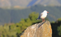 Red Billed Seagull. Red-Billed Seagull (Chroicocephalus scopulinus) native to New Zealand, rests on a post as it looks over the tidal flats of the Estuary royalty free stock image