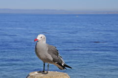 Red-billed Seagull Royalty Free Stock Image