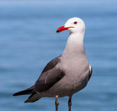 Red Billed Seagull Royalty Free Stock Photography