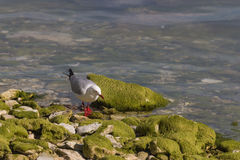 Red-billed seagull searching for food Royalty Free Stock Photo