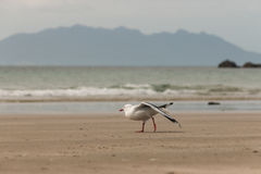 Red-billed seagull stretching Stock Photos