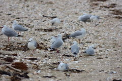 Red-billed seagulls on beach sand Royalty Free Stock Photography
