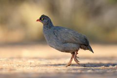 Red-Billed Spurfowl Royalty Free Stock Image