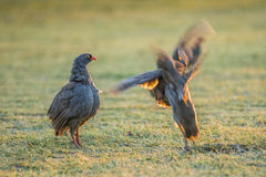 Red-billed Spurfowl battling Stock Photography