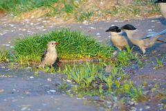 Red-billed Starling and Azure-winged Magpie. A Red-billed Starling stands in puddle and two Azure-winged Magpie watch it Royalty Free Stock Images