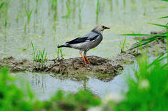 Red-billed starling stock image