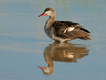 Red-billed teal Royalty Free Stock Images