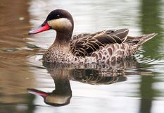 Red-billed Teal Stock Image