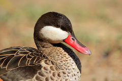 Red-billed teal Stock Photography