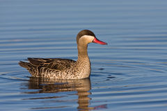 Red-billed Teal Royalty Free Stock Photography