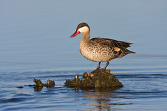Red-billed Teal. In shallow water Stock Photos