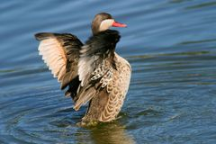 Red-billed teal Stock Images
