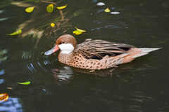 Red-billed Teal (Anas erythrorhyncha). Swims in pond Stock Photos