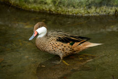 Red-billed Teal (Anas erythrorhyncha) Stock Photos
