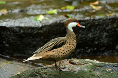Red-billed Teal (Anas erythrorhyncha) Royalty Free Stock Photo