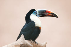 Red billed toucan Royalty Free Stock Images