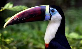 Red-billed Toucan Royalty Free Stock Images